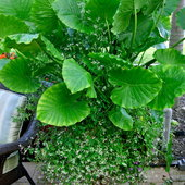 Started in April 2007 - This Dwarf elephant ear along with Diamond frost has really survived well.