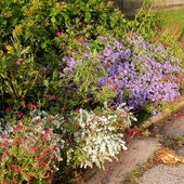 White Heath Aster, Purple Aster and Red Autumn Sage,