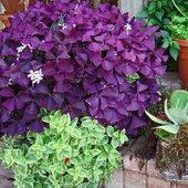 Oxalis on steroids! 3 months later! What a wonderful plant. It has taken over the pot though!