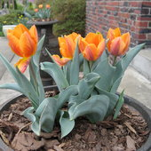 'Princess Irene' tulips in urns by the patio