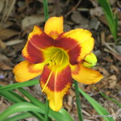Hemerocallis 'Maleny Tiger'