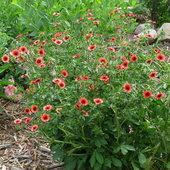 Miss Willmott cinquefoil  likes to ramble, so a good support helps. It looks rather like a strawberry plant on steroids.