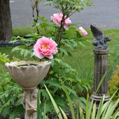 5.11.13 The rain weighted down the large flowers on my Paeonia suffruticosa Pink.