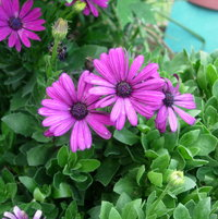 African Daisy 'Passion Mix'