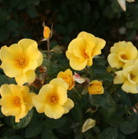 Chinese floribunda rose