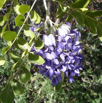 Texas mountain laurel.