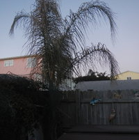 1/19/14 Queen palm. I didn't protect this and although, the fronds are brown, it should recover.