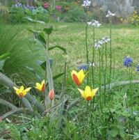 Tulipa clusiana var. chrysantha and Texas Toadflax (Nuttallanthus texanus)