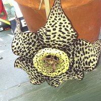 Stapelia smells awful but the flowers are so stunning and the plants so easy to grow, it's worth it