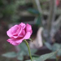 love potion rose.