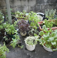 Numerous herbs and veggies in containers