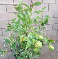 My new Variegated Eureka Lemon Tree