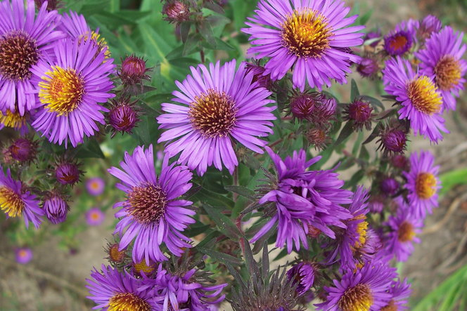 New England Aster brightens the fall gardens