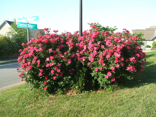Knockout roses around light pole on corner of yard
