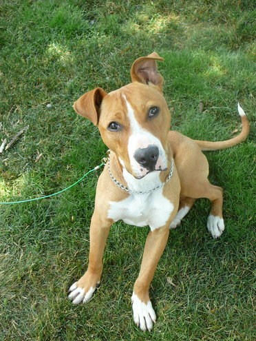 """A very sweet stray pit bull mix puppy that me and my daughter """"rescued"""". We named him Reggie. We already have two dogs and, at the time three cats. We could not find a good home for him and had to give him up at the dog pound. I hope that he is in a loving home...."""