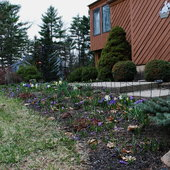 April 22, 2014 Crocus are done and other spring bulbs are popping up.