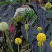 Colocasia 'Black Coral' serves as a nice background for tall stems of Craspedia globosa