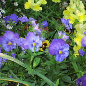 Snapdragons and pansies