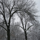 The delicate limbs of the oak trees provide a sharp contrast to the grey winter sky.