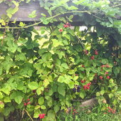 We grow thornless blackberries over a wooden frame that provides support. These berries were a second flush of fruit that came unexpectedly.