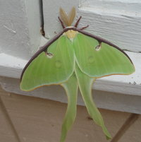 Another visitor ... Luna Moth