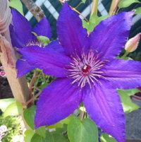 purple clemantis