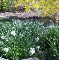 small side garden with daffodils and forsythia