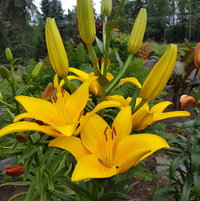 Yellow County Oriental Lily