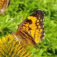 butterfly visit to Coneflower
