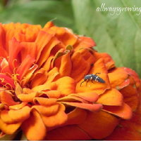 A baby ladybug is checking out this orange zinnia bloom.