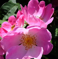 Gallica Rose 'Complicata' Introduced by Jules Gravereaux, France 1902