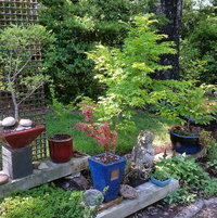 Potted garden with Elm, Beech, Japanese Umbrella Pine, Japanese Maples.