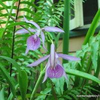 Brassocattleya (Bc.) Maikai - Brassavola (B.) nodosa X Cattleya (C.) bowringiana hybrid