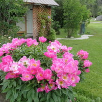 Peony 'Friendship' in full bloom