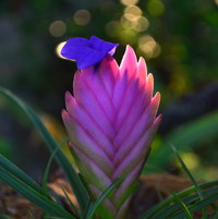 Pink Quill double flower