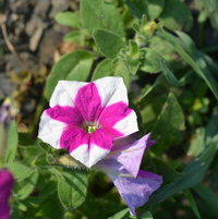 Petunia (chance seedling)