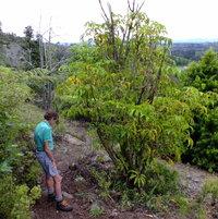 Mallet Flower Tree (Schefflera pueckleri