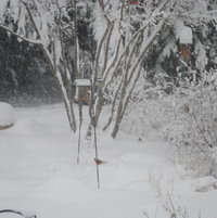 The blizzard of February 2010 coated the plants