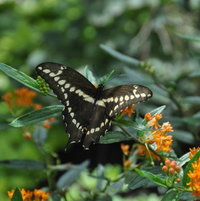 Giant Swallowtail was only the second butterfly to visit the butterfly weed all season as it grew in the front garden
