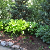 Deciduous and evergreen shrubs form the background with hostas in the middle