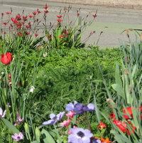 spring bulbs larkspur sage
