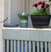 03/13/2012 Mockingbird using my little makeshift bird bath.