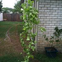 Potato Ivy