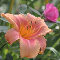 """Decatur Apricot"", my favorite daylily."