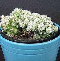 Mammillaria vetula gracilis fragilis (Thimble cactus) - 2017-03-26 03
