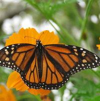 Monarch (f) Danaus plexippus - 1st one seen in 2016 - nectaring on orange Cosmos