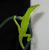 a patio lizard.
