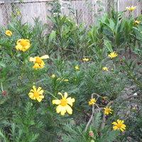 "African bush daisy -- <a href=""http://www.floridata.com/ref/g/gamo_chr.cfm"" target=""_blank"" rel=""nofollow"">www.floridata.com/ref/g/gamo_chr.cfm</a>"