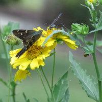 Long-tailed Skipper (Urbanus proteus) .. Thread-waisted Wasp on False Sunflower ..