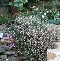 Santa Barbara daisy